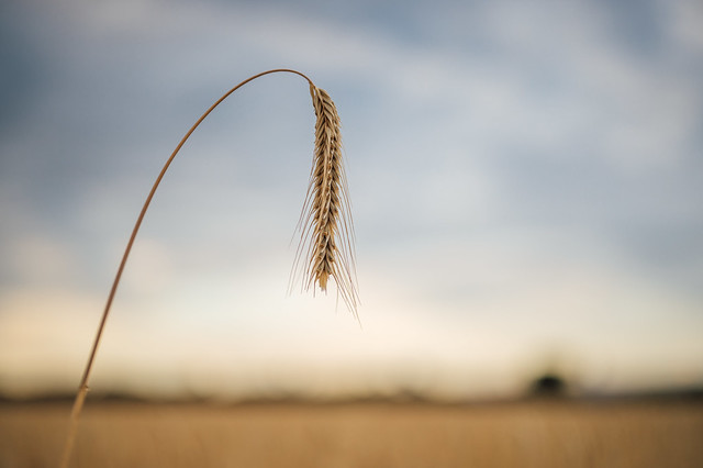 A single rye plant close-up with a blurry background