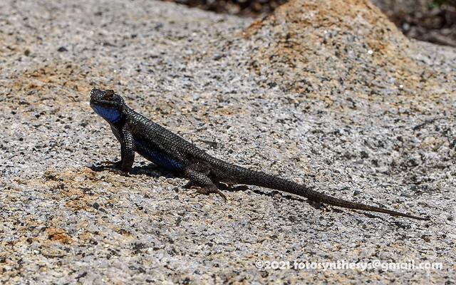 San Joaquin Fence Lizard (Sceloporus occidentalis biseriatus), adult male DSC_1570