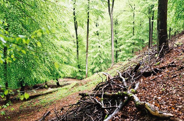 Beech forest, Adenauer Forst.