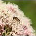 Hoverfly on Hemp Agrimony