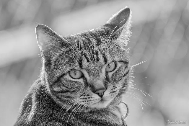 Backyard cat portraits...Marley in monochrome.
