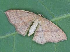 Braunroter Eichen-Gu00fcrtelpuppenspanner (Cyclophora ruficiliaria)