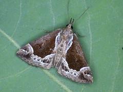 Heidelbeer-Schnabeleule (Hypena crassalis)