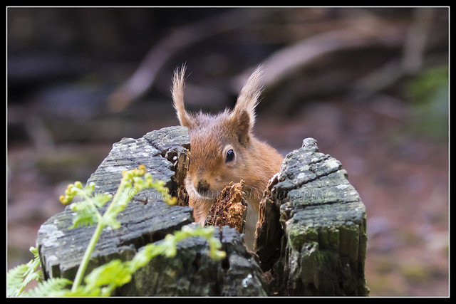 IMG_0075 Red Squirrel