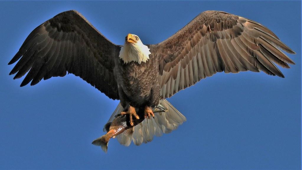 Eagle and Kokanee