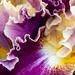 Iris Ruffles, 4.25.18