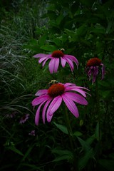 Bees On Coneflowers