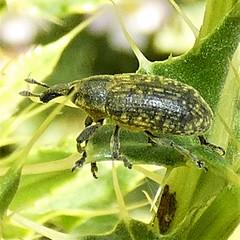 Lu00e4nglicher Distelru00fcssler (Larinus planus)