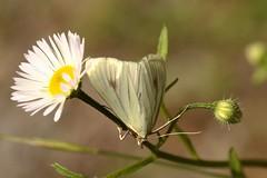 Mu00f6hrenzu00fcnsler (Sitochroa palealis)