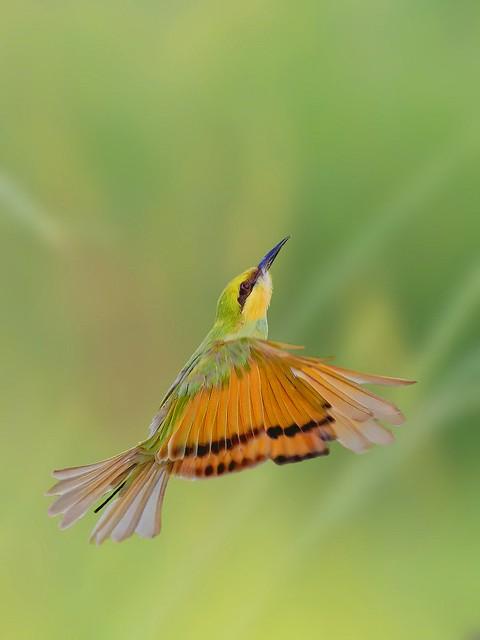 Green Bee Eater in flight