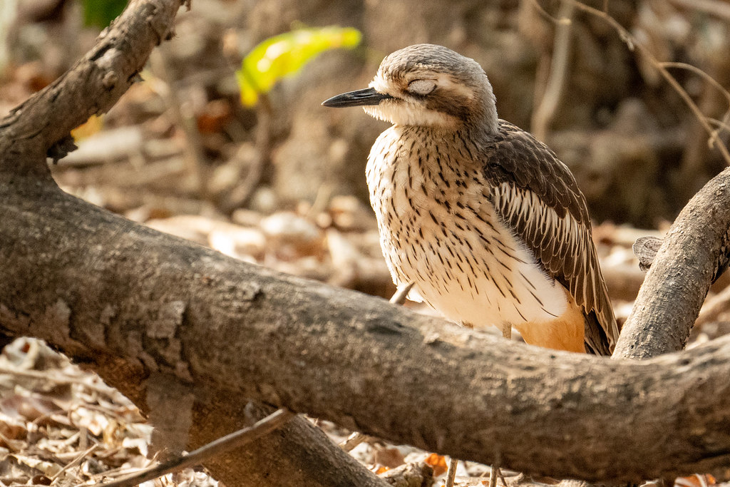 Bush Stone-curlew. East Point Reserve, Darwin, NT AUS