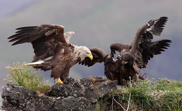 White-tailed Eagle (Haförn) 240