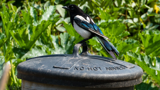 Young magpie on old dustbin lid