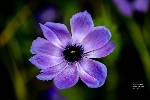 Poppy-flowered Anemone.
