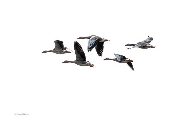 Texel- vogels-5