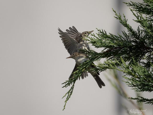 Throwing a warbler?