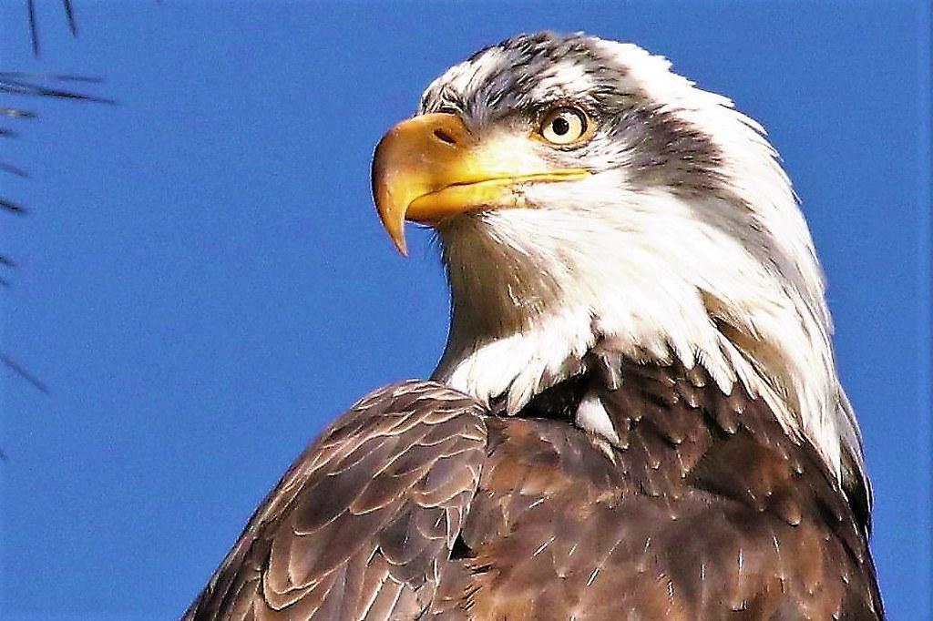 4 -  5 Year Bald Eagle