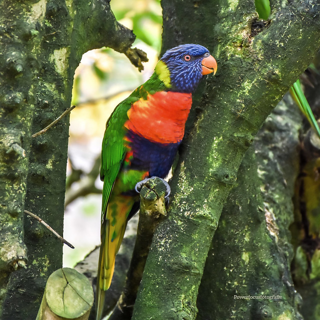 Den Aturen - Papagei (1802)