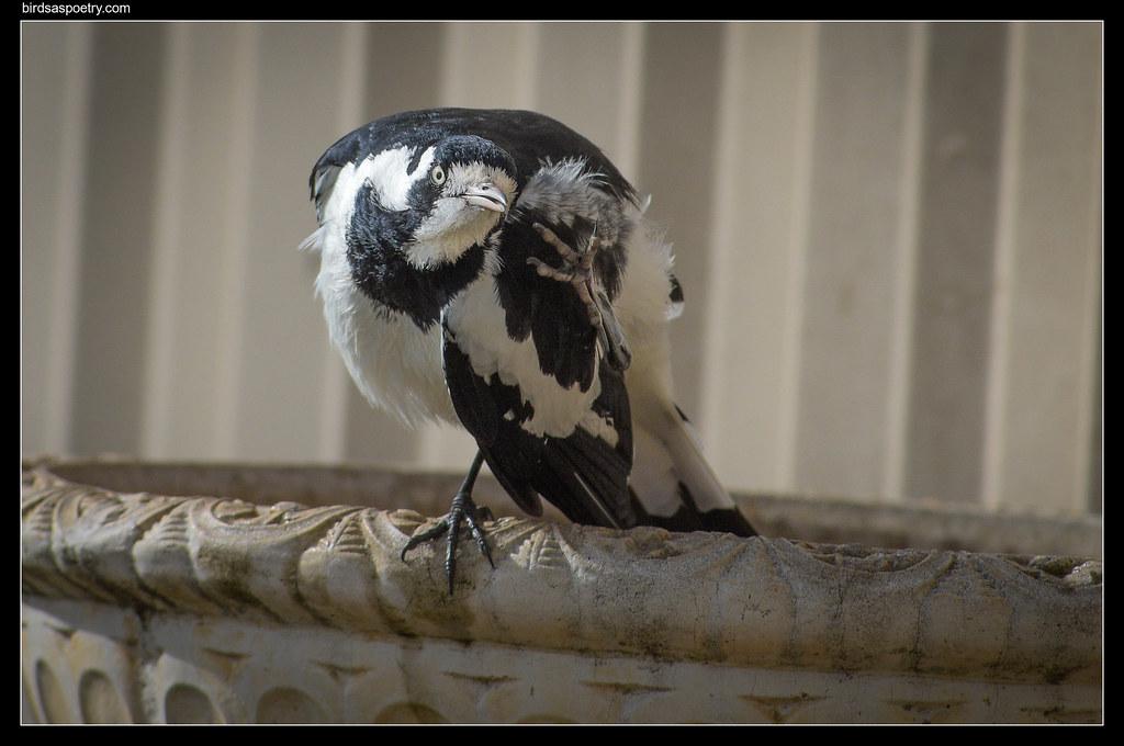 Magpie-lark: Scratch Relief