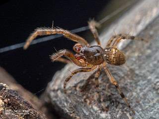 Comb-footed spider (Theridion t-notatum) - P6260152
