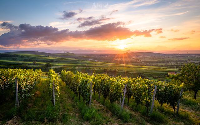 Wonderful summer vineyard world...