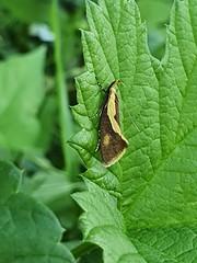 Braungelbe Faulholzmotte (Harpella forficella) (2)