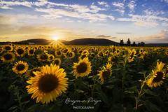 Sunflowers Field at Sunset 3
