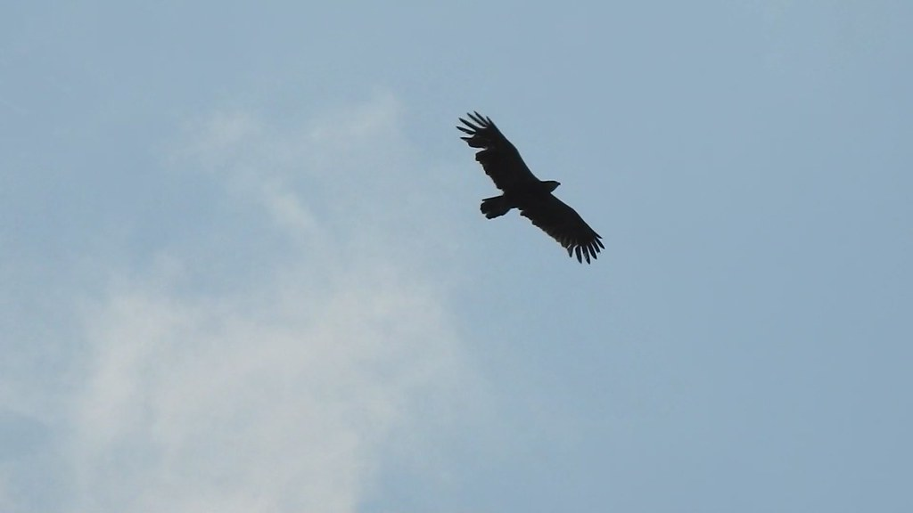 Lesser Spotted Eagle, Kráľovce, Slovakia