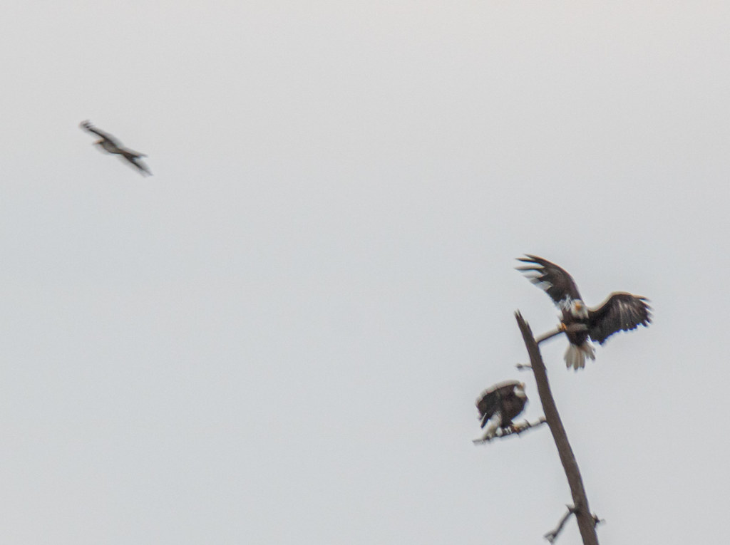 Bald Eagles being harrased by Osprey