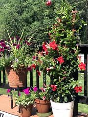 My deck garden