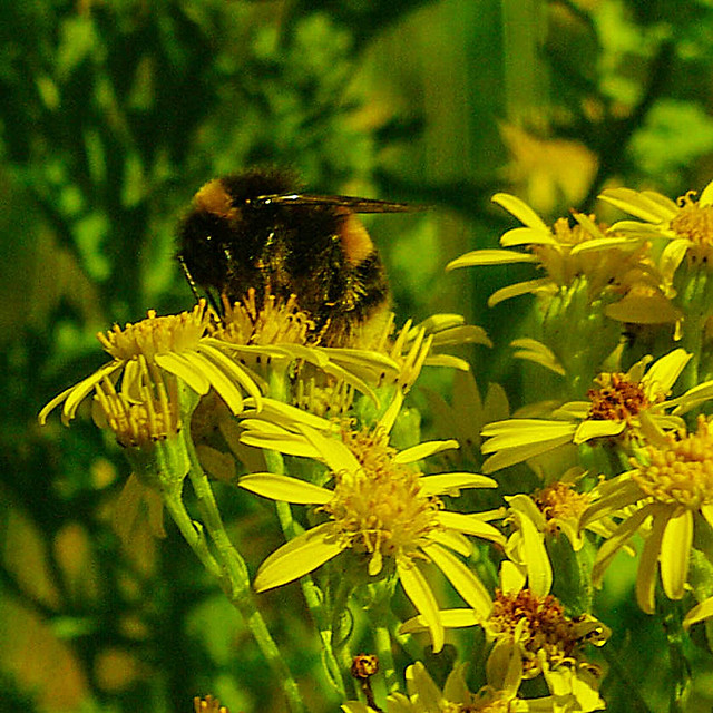 Busy White Tail Bumble Bee