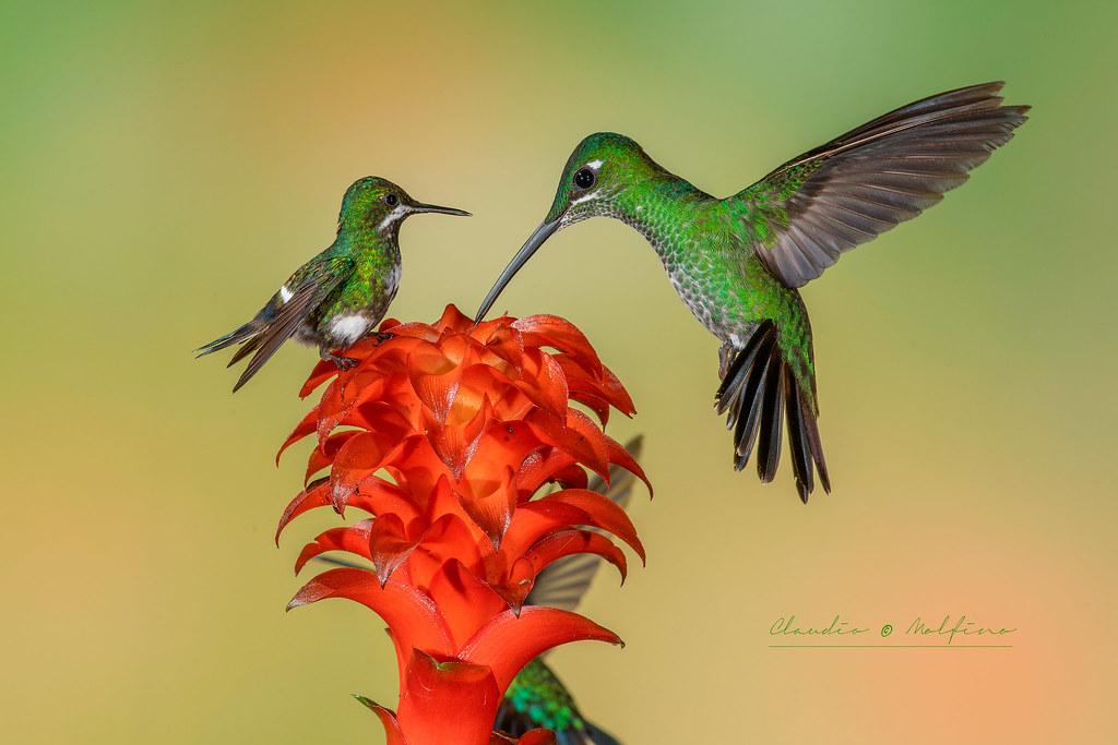 Hummingbirds, Ecuador