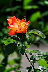 Rose in the Sun