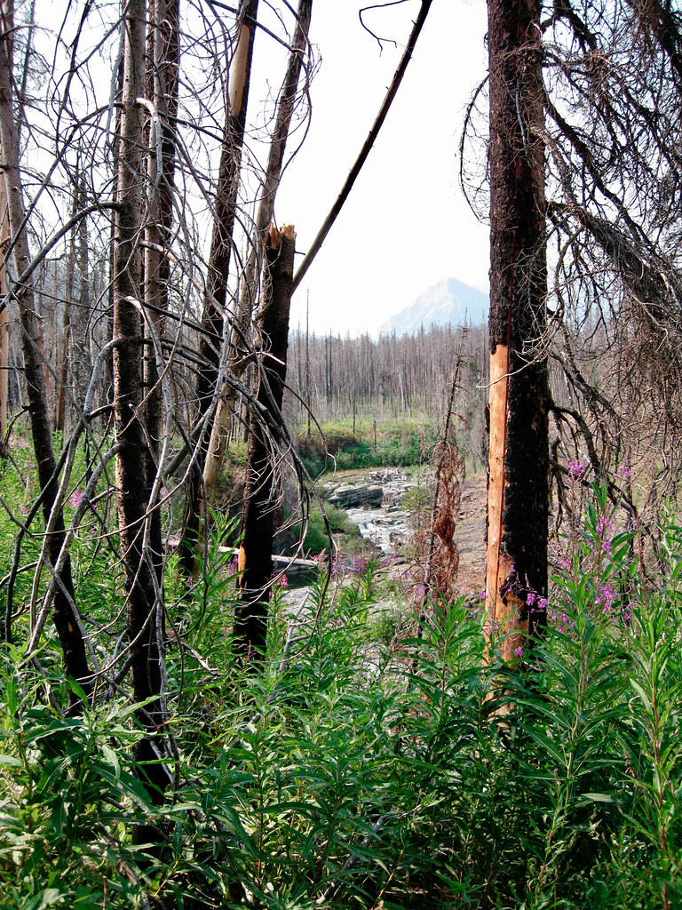 Dead trees from fire in Waterton National Park, Southern Alberta, Canada