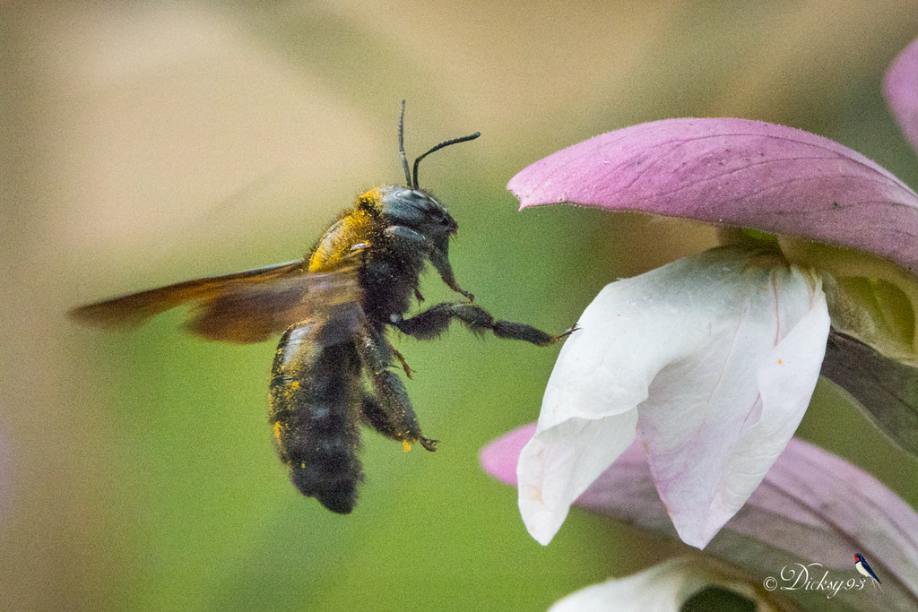 Xylocope violacé ou abeille charpentière (Xylocopa violacea) sur acanthe