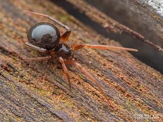 Comb-footed spider (Coscinida sp.) - P6270390