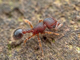 Ant (Tetramorium lanuginosum) - P6260067