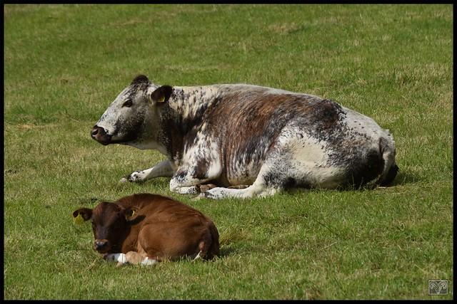 Longhorn Cow & Calf,Flagg,Derbyshire Dales.