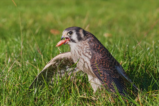 That classic foot in the mouth moment. American Kestrel with lunch.