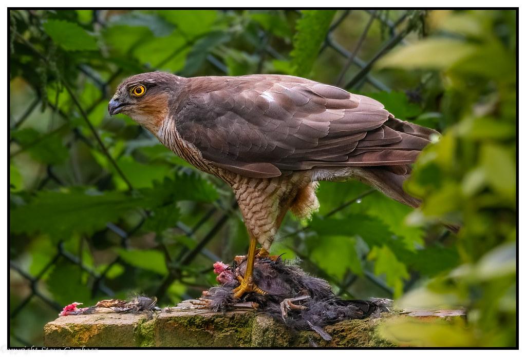 Sparrowhawk with Blackbird prey!