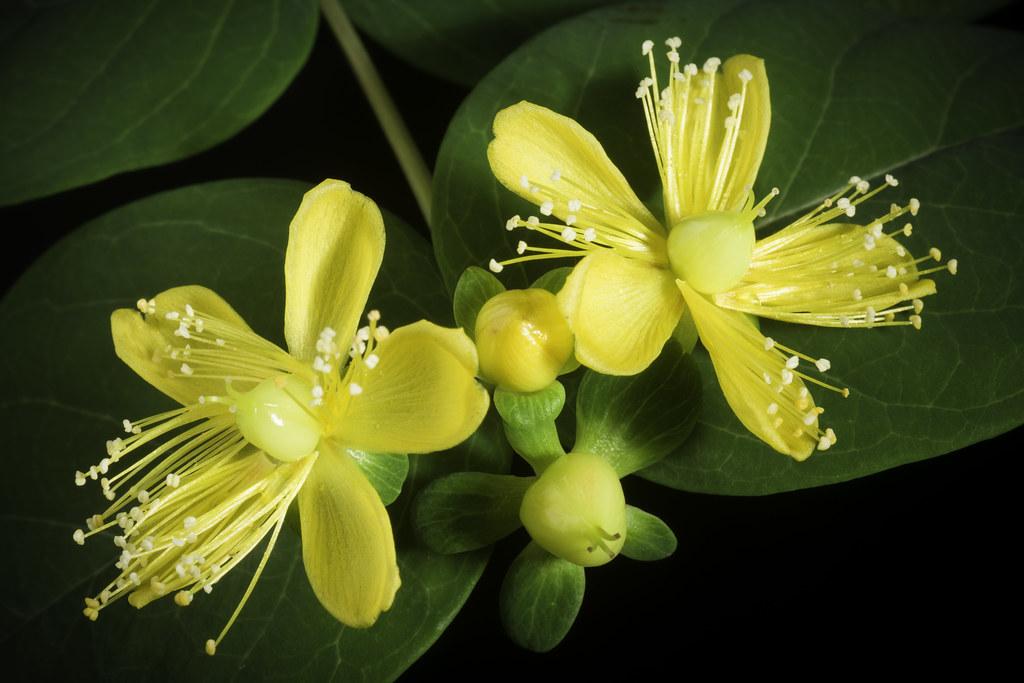 Hypericum androsaemum L., Sp. Pl.: 784 (1753).