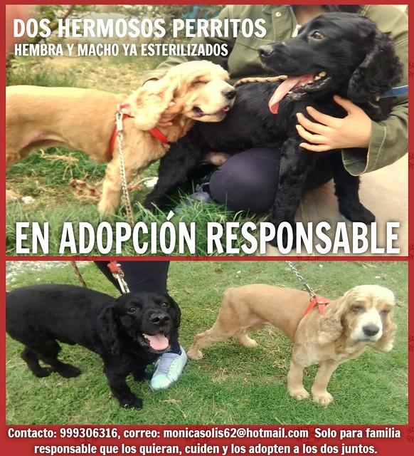 Dos lindos perritos rescatados en adopción en Comas, Lima