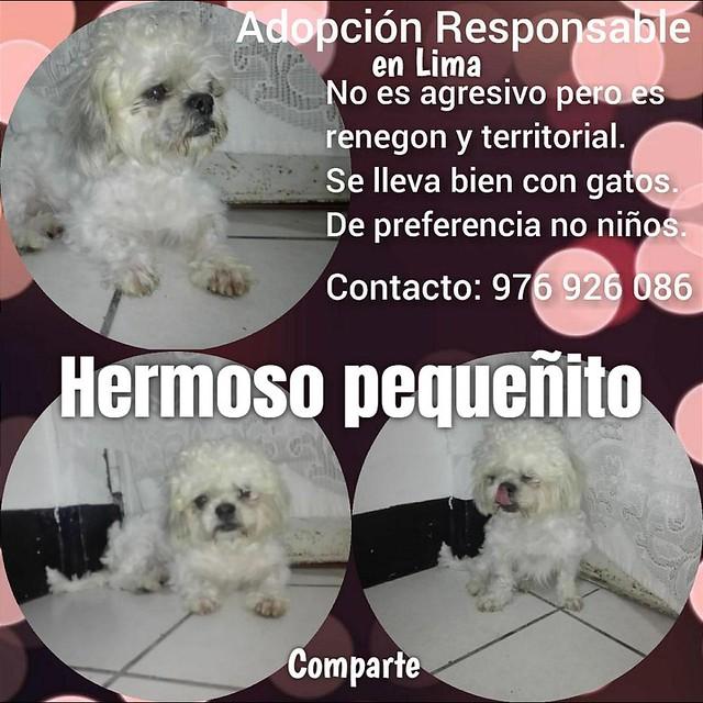 En adopción responsable en Lima: hermoso perrito