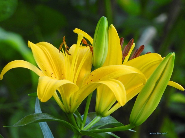 Yellow Lilies Flowers