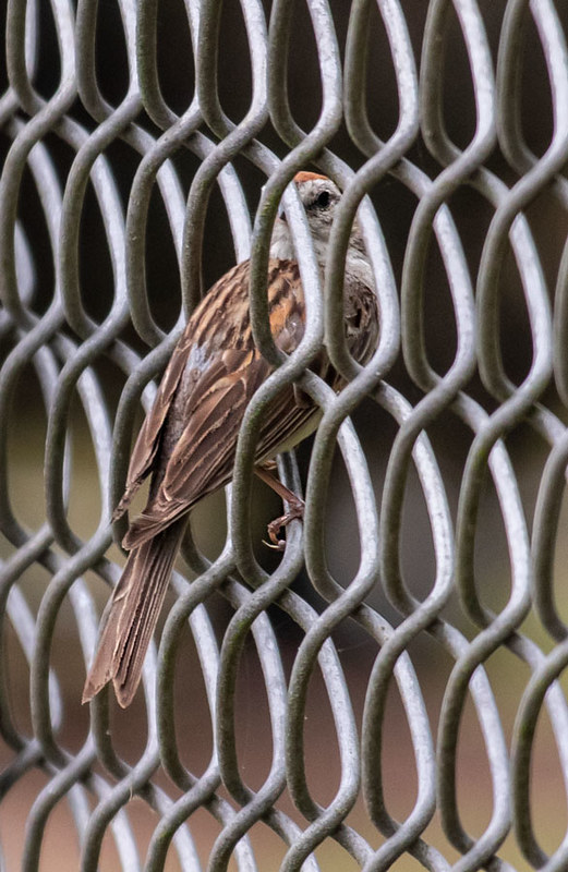 Chipping Sparrow on fence