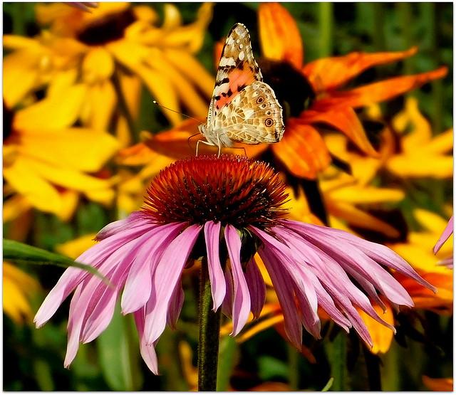 Jeżówka i motyl.