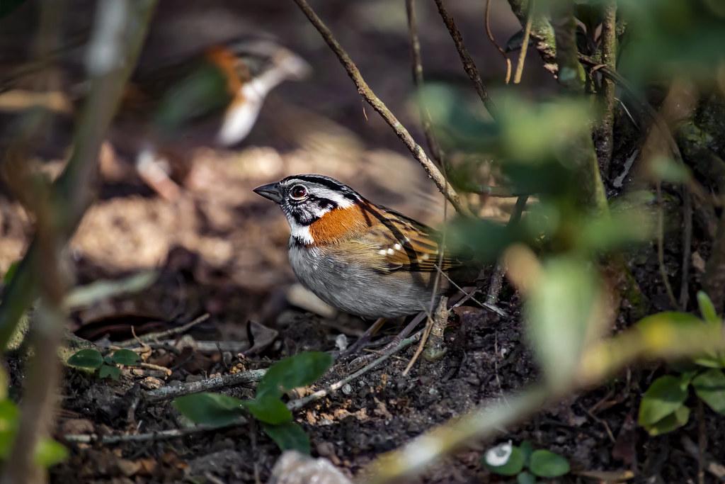 Rufous-collared Sparrow (Zonotrichia capensis) in Rio de Janeiro, Brazil