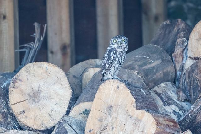 Litte Owl.