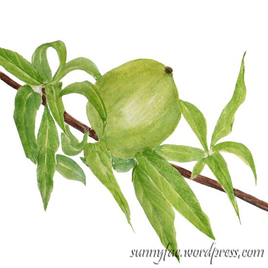 watercolour sketche of quince fruit