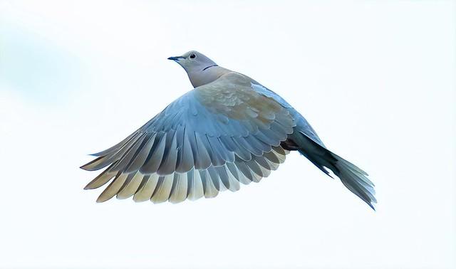 Collard Dove (Garden)